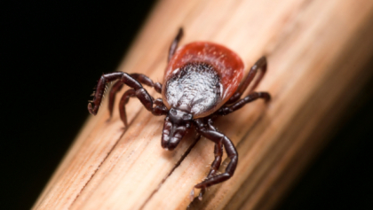 shutterstock 3422827461 Tick Borne Diseases On The Rise In Michigan, Elsewhere In US: CDC