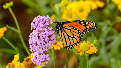shutterstock 362487542 Public Comment Sought On Monarch Butterfly Conservation Plan